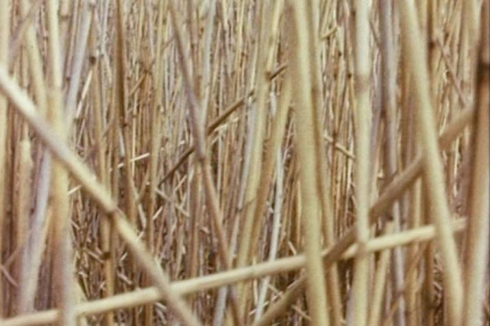 the frame is engulfed by dense overlapping reeds of a light yellow and tan color