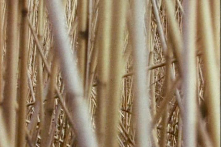 dense overlap of straight reeds very close to the camera