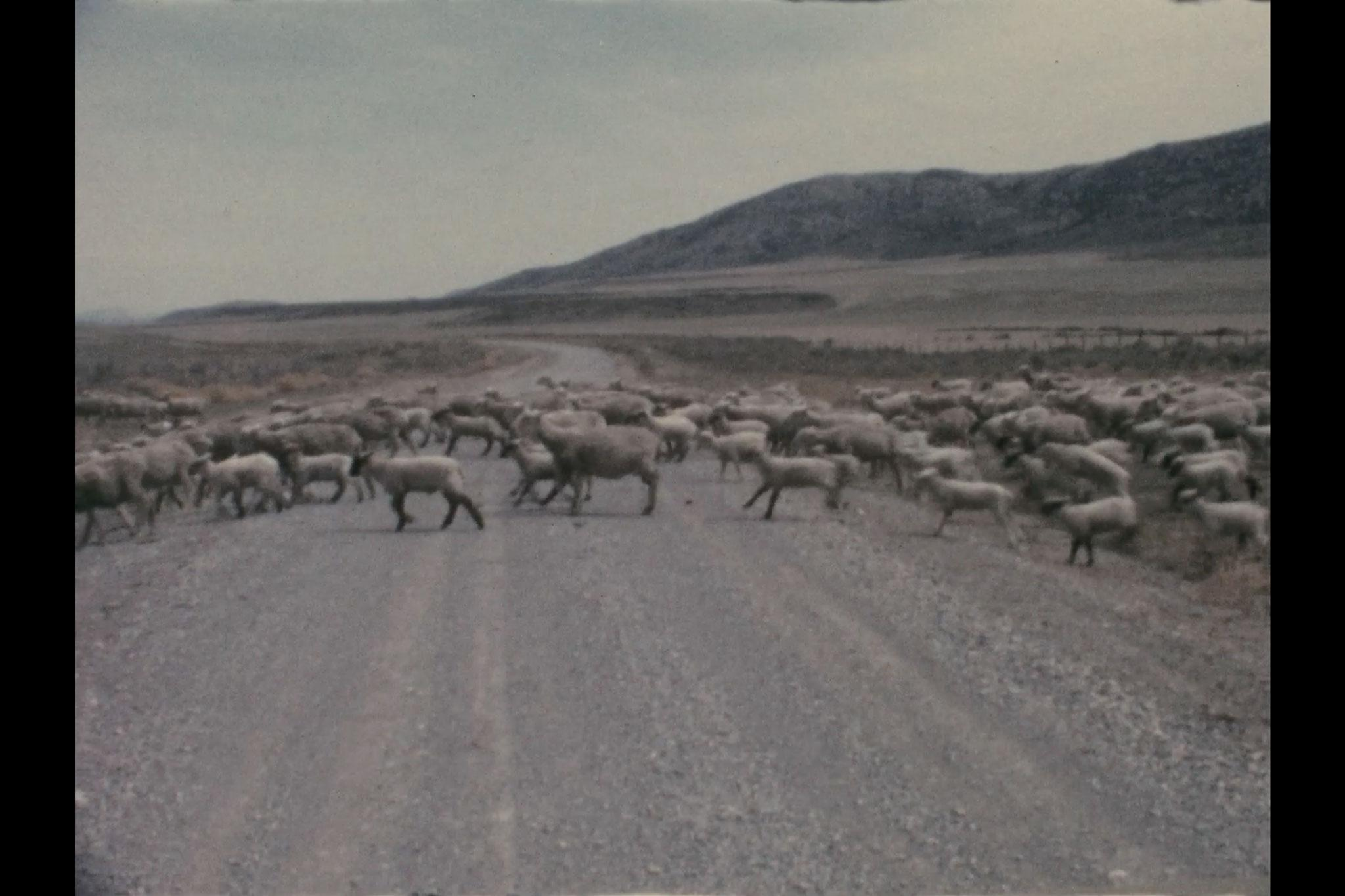 a large flock of sheep crossing a dirt road