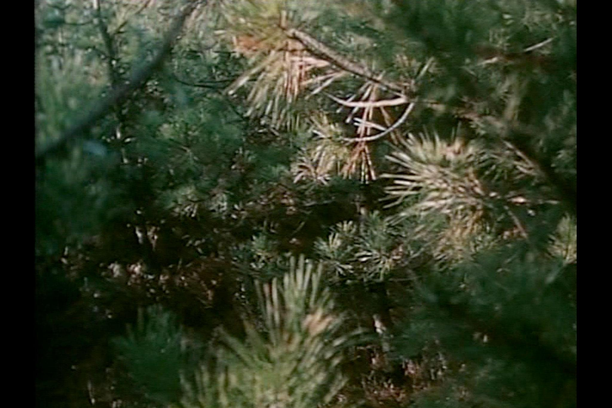 a close up of sunlit pine needles