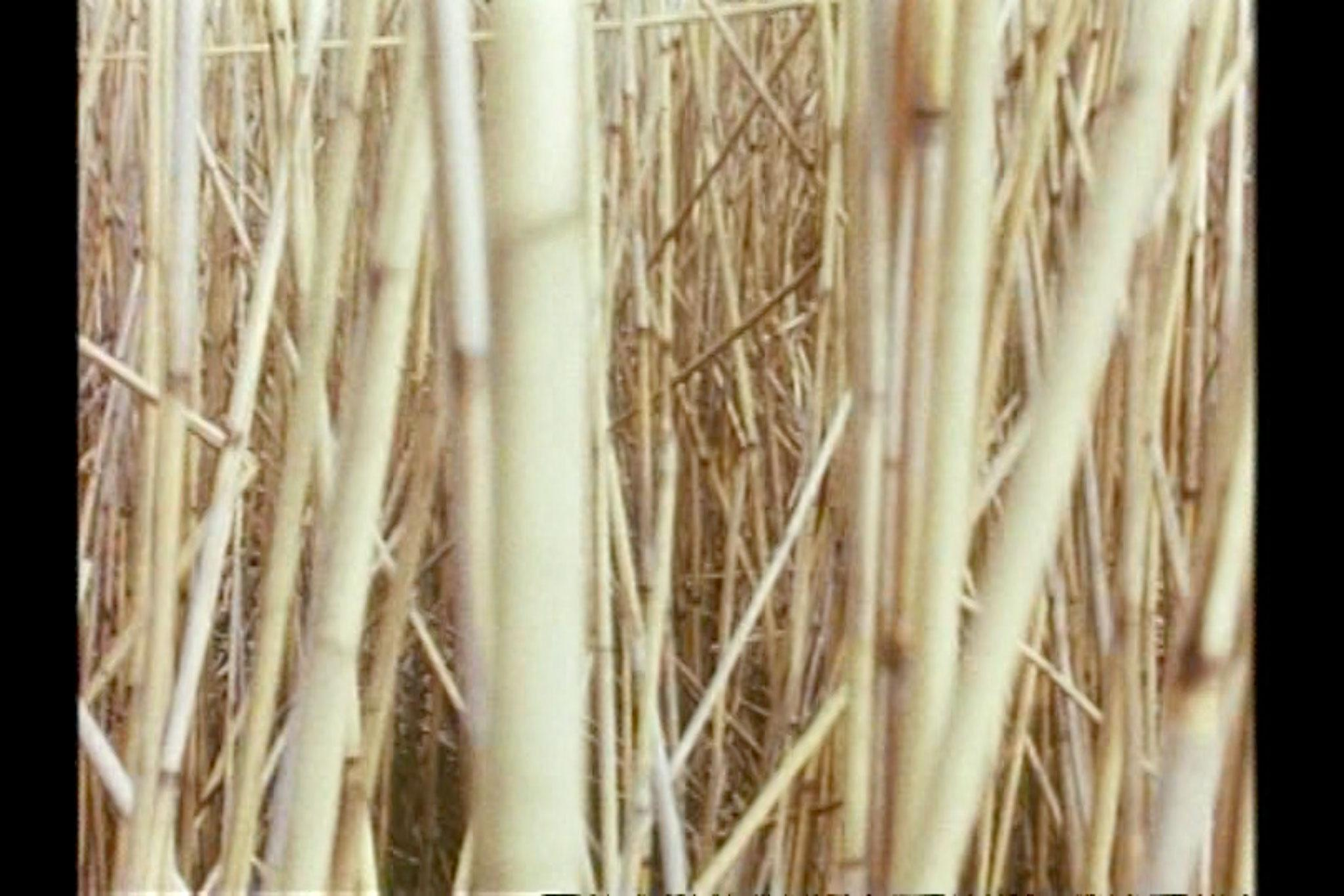 Chaotic image of many criss-crossing reeds.