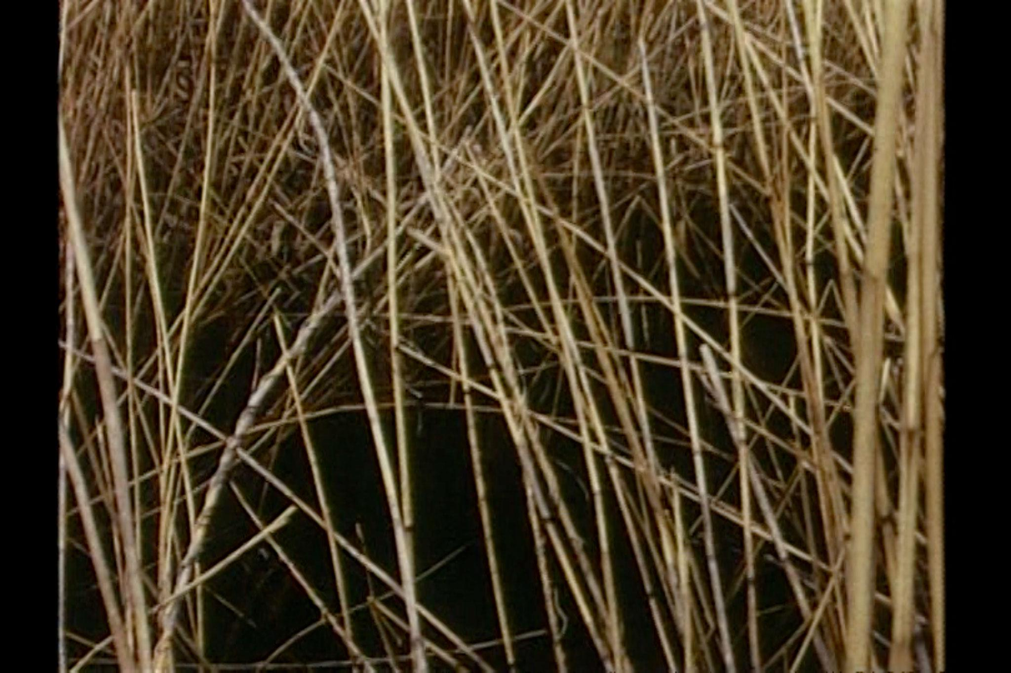 Chaotic image of many criss-crossing reeds with a dark shadowy background.