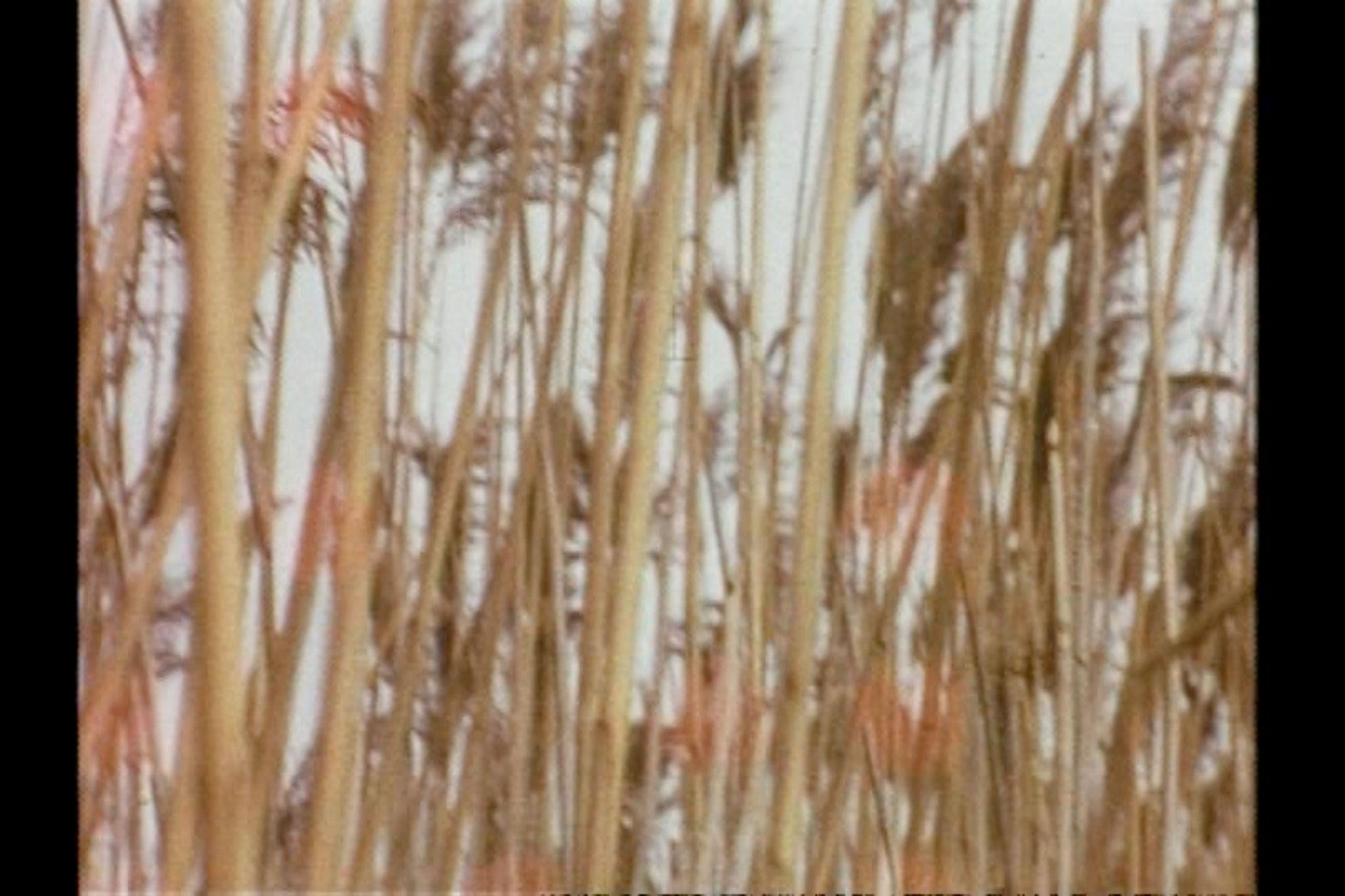 Chaotic image of many criss-crossing reeds and seed heads.
